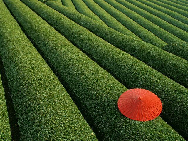 File:Japan tea+Fields .jpeg