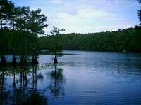 Caddo Lake- Cypress