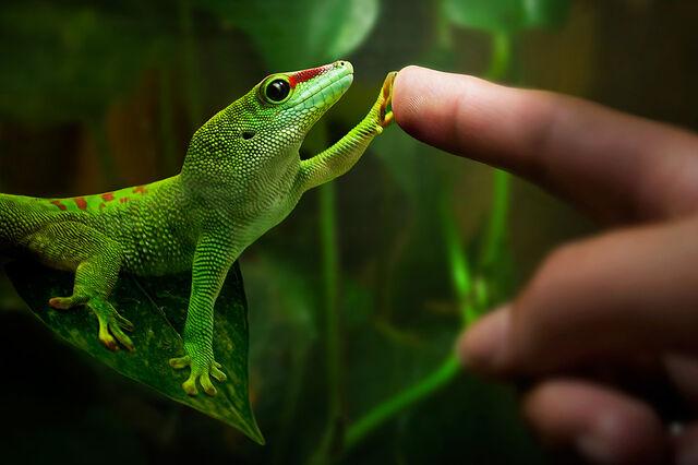 File:Gecko-008.jpg