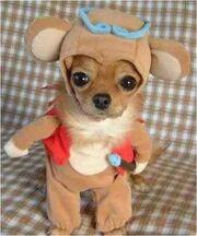 Cute Chihuahua2 answer 2 xlarge