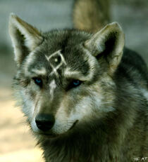 Real-Wolf-Link-wolves-22974348-932-1024