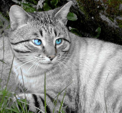 Grey Cat by CedaCo-1-