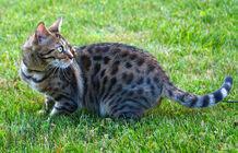 Female bengal cat outdoor