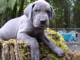 File:Great dane puppy.jpg
