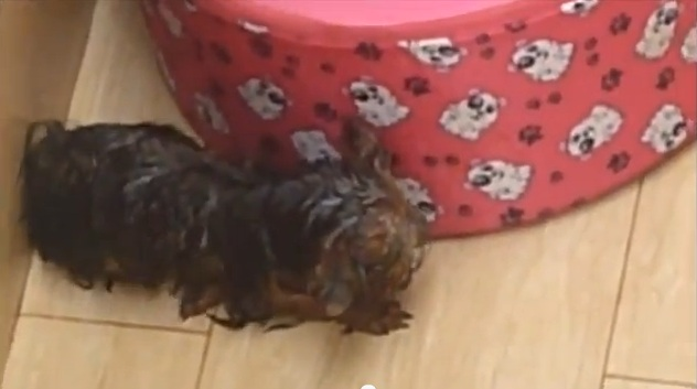 File:Yorkshire dog.jpg
