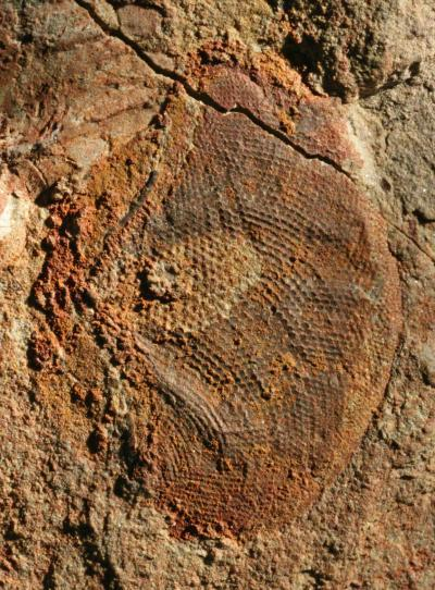 Paramegasecoptera egg