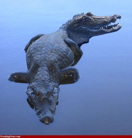 File:Two-Headed-Gator-25876.jpg