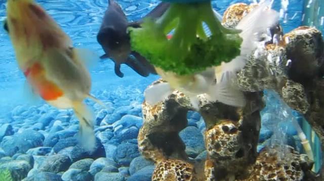 Fish eating food