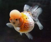 Crown-pearlscale-goldfish-2