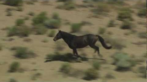 Wild Black Mustang Horse Roaming Free in Desert Valley Aerial Video View taken on a Helicopter Flyby