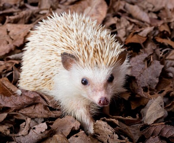File:Cutest hedgehog in the world.jpg
