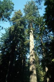File:180px-Coastal redwood.jpg