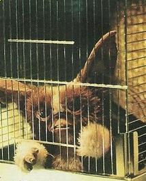 File:A Caged Earl.JPG