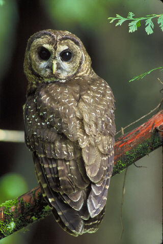 File:Northern spotted owl.jpg