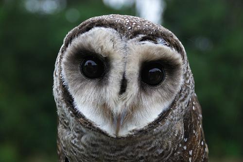 File:Lesser Sooty Owl at Bonadio's Mabi Wildlife Reserve.jpg