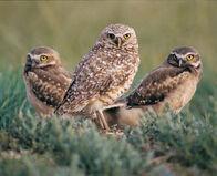 3burrowingowls