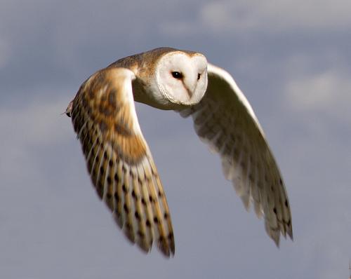 File:Barn Owl in flight.png