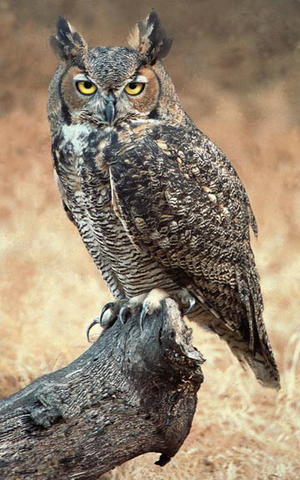 File:Great Horned Owl.png