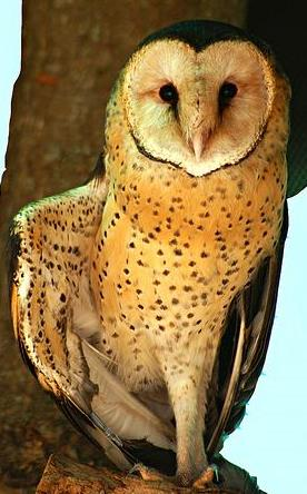 File:African Grass Owl T.capensis.jpg