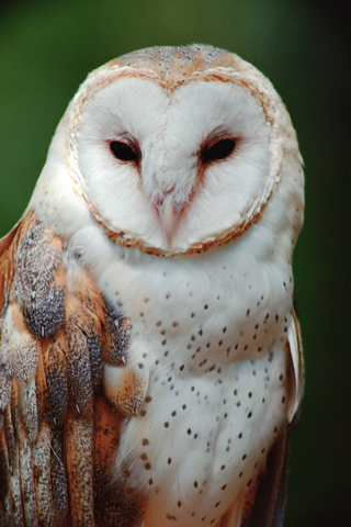 File:Barn Owl close-up.png