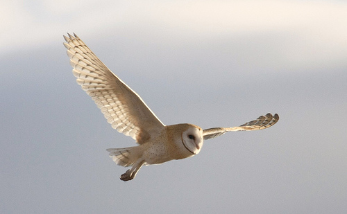 File:Barn Owl.jpg
