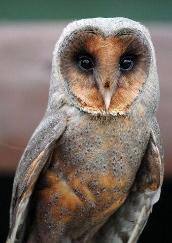 File:Melanistic barn owl 0554.JPG