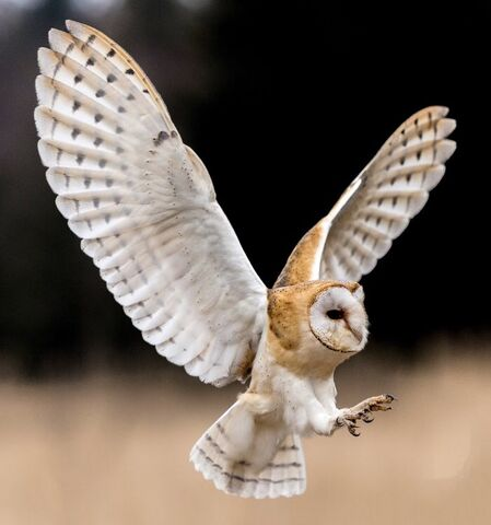 File:Barn owl 0543.JPG