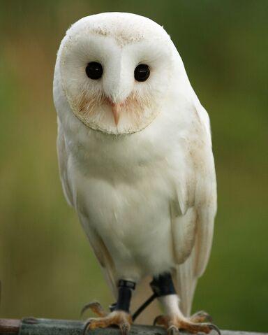 File:Barn owl 0556.JPG