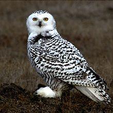 220px-Snowy Owl Barrow Alaska