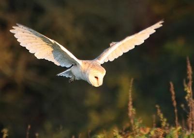 File:Barn owl 0560.JPG