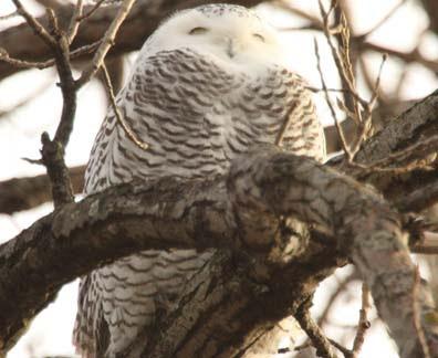 File:MN07 snowy owl 100 3432.jpg