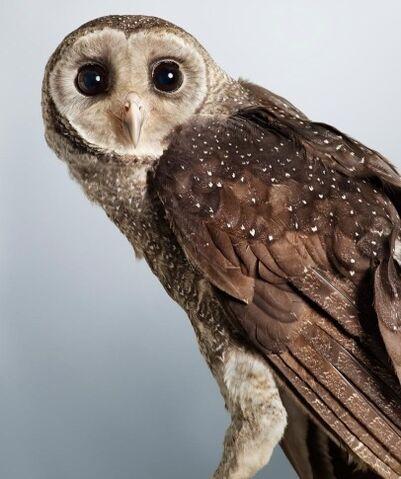 File:Greater sooty owl 0546.JPG