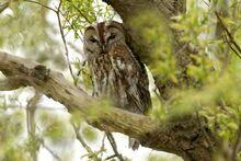 Tawny-owl-500x333