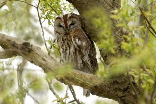 File:Tawny-owl-500x333.jpg