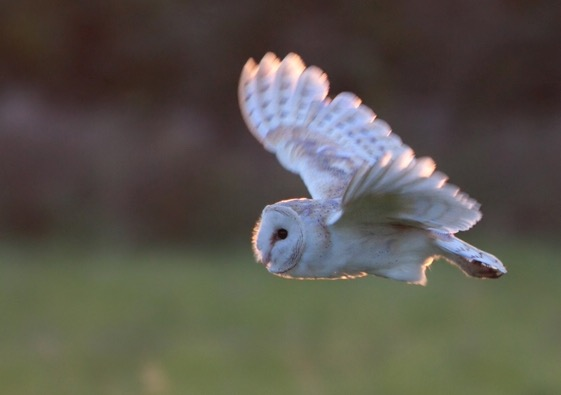 File:Barn owl 0559.JPG