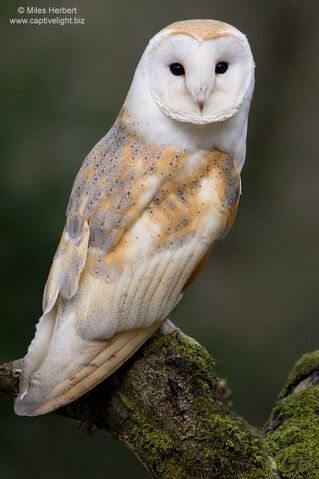 File:Barn Owl.jpg