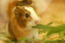 File:Baby guinea pig.png