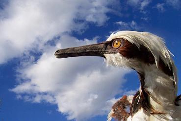 File:Buitreraptor.jpg