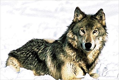 File:User Renegade Shinobi wolfpic.jpg