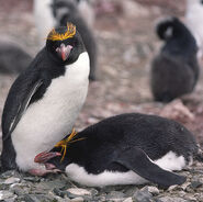 Macaroni Penguins (js)