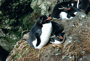 MacquarieIslandRockhoppers
