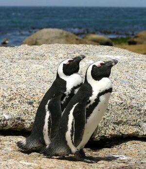 African penguins Boulder Bay 1