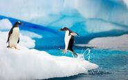 Gentoo penguins antarctica-wide