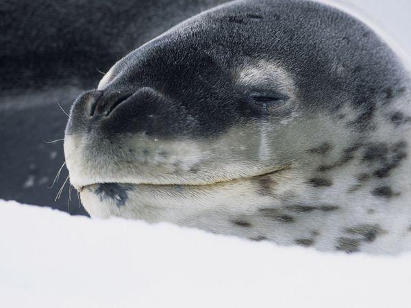 File:Leopard-seal 608 600x450.jpg