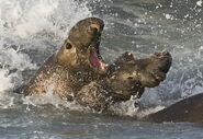 Elephant seals fighting