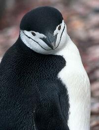 Antarctic, antarctic penguin (js) 65