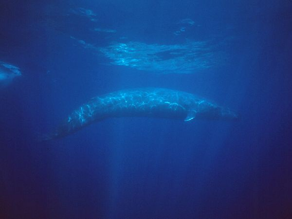 File:A blue whale in the water.jpg