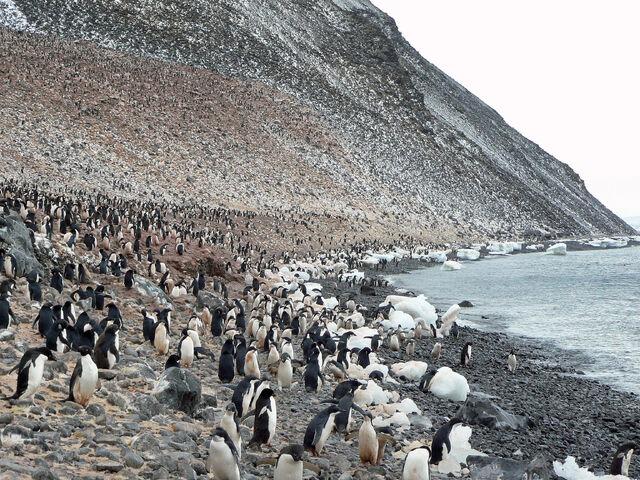 File:Paulet Island Adelie Pinguin Kolonie.JPG