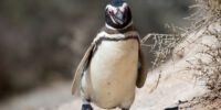 Magellanic Penguin/Gallery