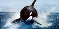 Killer Whale/Gallery